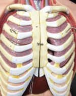 Plastic model of chest